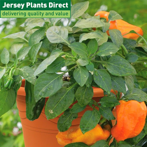 Jersey Plant Direct